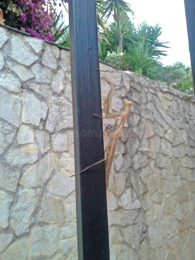 Bruine bidsprinkhaneninsecten, Carolina Praying Mantis stock foto's