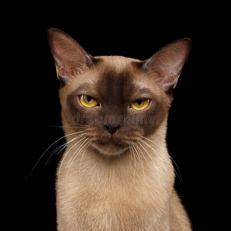 Bruine Birmaanse die kat op zwarte achtergrond wordt geïsoleerd stock fotografie