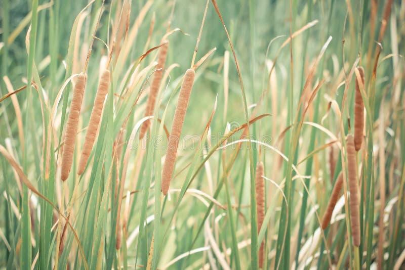 bruine bloemaren op Typha riet cattail moerasland royalty-vrije stock foto