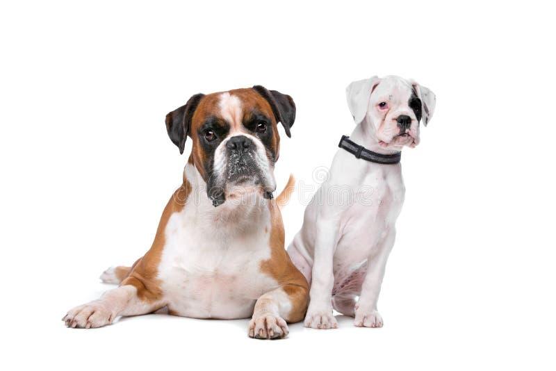 Bruine bokserhond en een bokserpuppy royalty-vrije stock foto