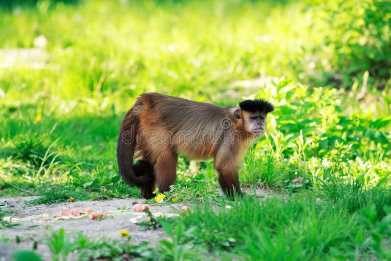 Bruine Capuchin aap royalty-vrije stock fotografie