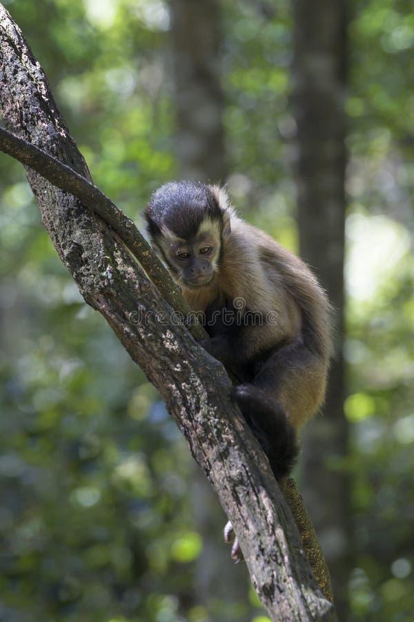 Bruine Capuchin in een boom stock afbeelding