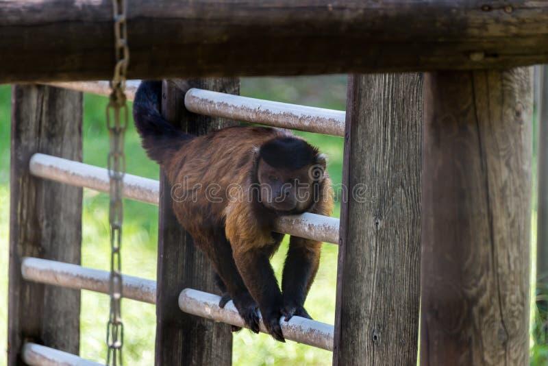 Bruine capuchin in Hay Park in Kiryat Motzkin, Israël royalty-vrije stock afbeeldingen