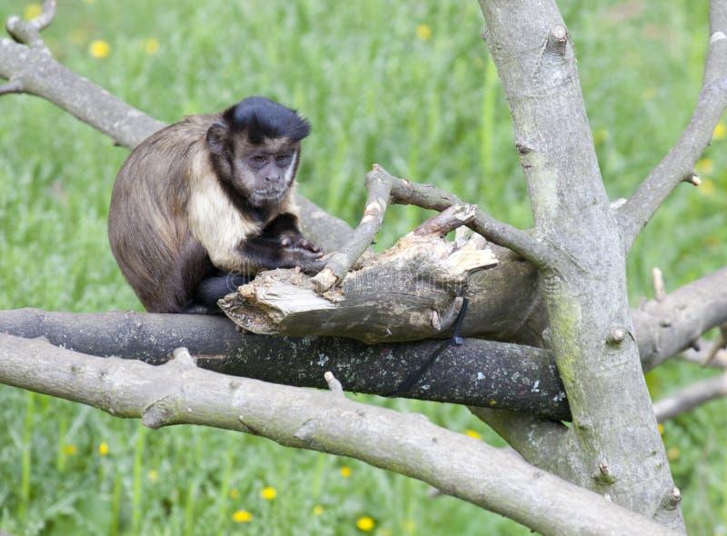 Bruine Capuchin zitting in een boom royalty-vrije stock foto's