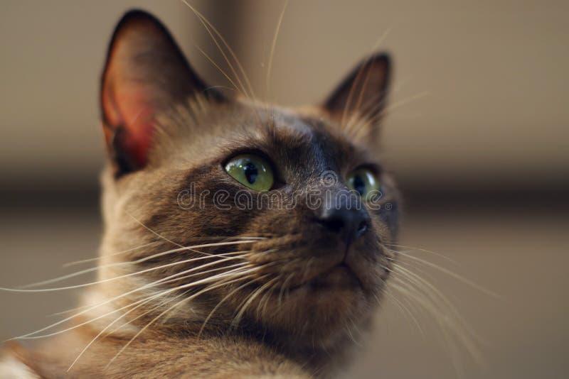 Bruine Cat Close Up stock afbeelding