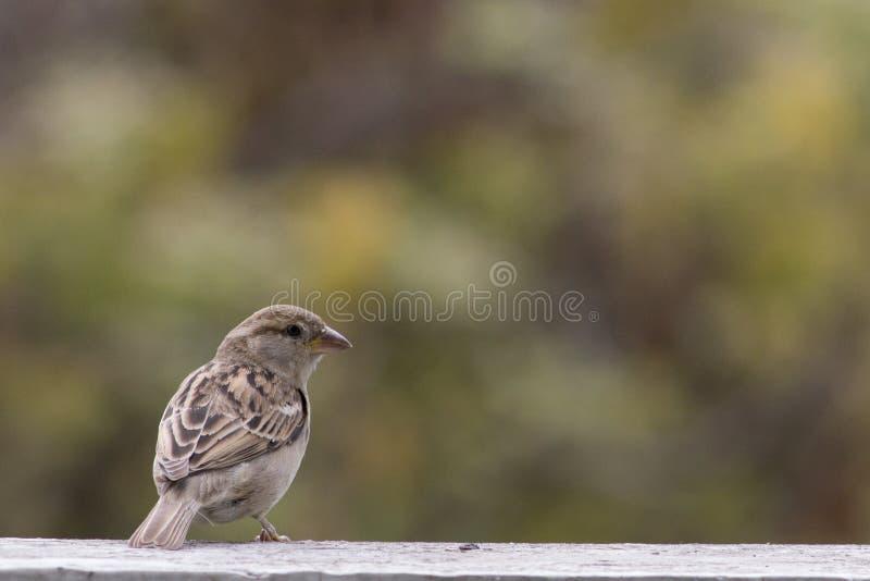 Bruine cenary vogel royalty-vrije stock foto's