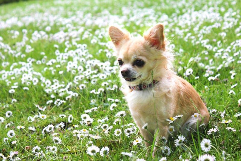 Bruine Chihuahua-zitting op groen gras stock foto