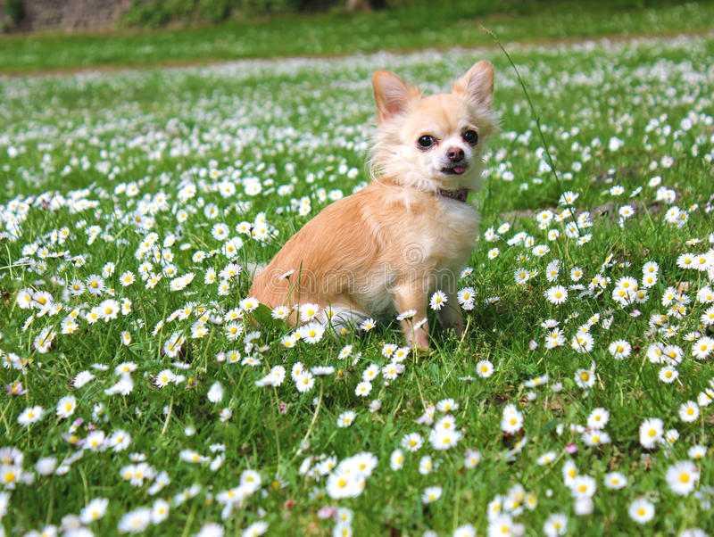 Bruine Chihuahua-zitting op groen gras stock afbeelding