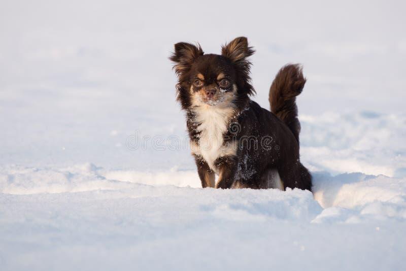 Bruine chihuahuahond die zich in openlucht in de winter bevinden royalty-vrije stock foto