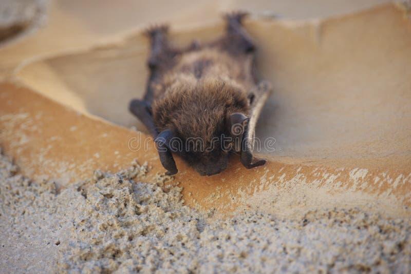 Bruine Chiroptera-Slaap op Muur royalty-vrije stock foto