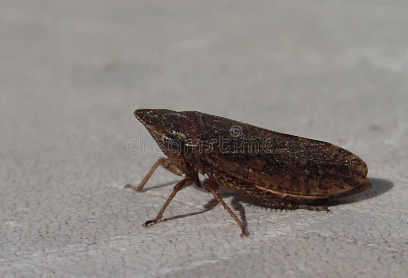 Bruine cicade royalty-vrije stock afbeelding