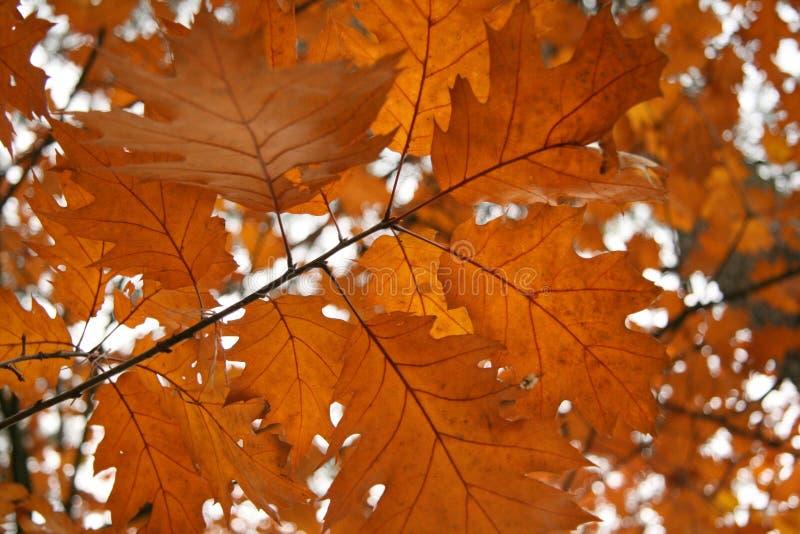 Bruine de herfstbladeren stock afbeelding