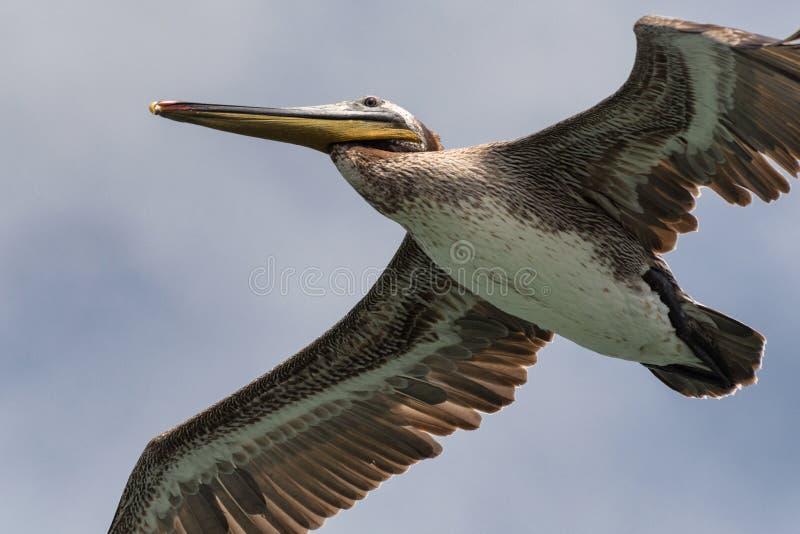 Bruine de pelikaanclose-up van Californië tijdens de vlucht stock fotografie