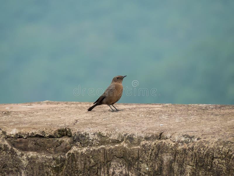 Bruine de Vogelzitting van het Rotspraatje op Oud fort-India royalty-vrije stock afbeelding