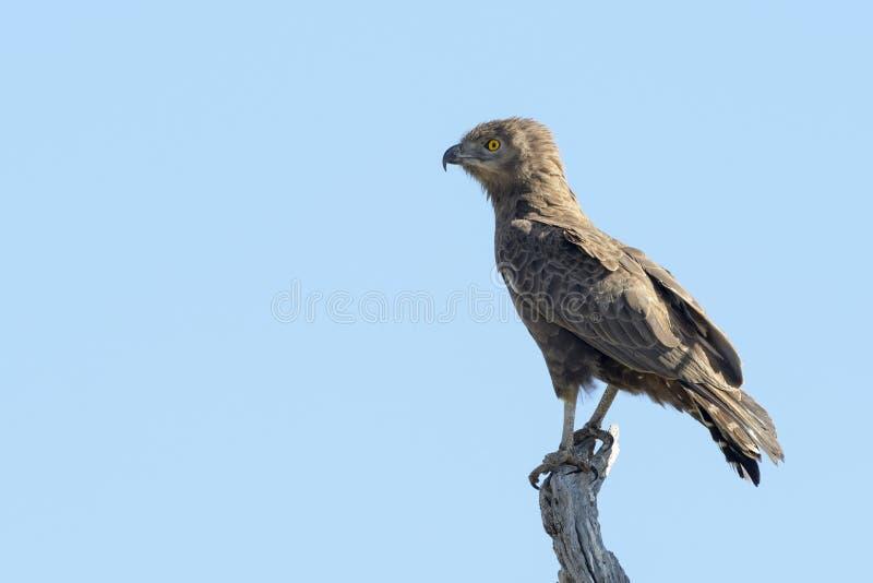 Bruine die cinereus van slang-Eagle Circaetus in treetop wordt neergestreken stock fotografie