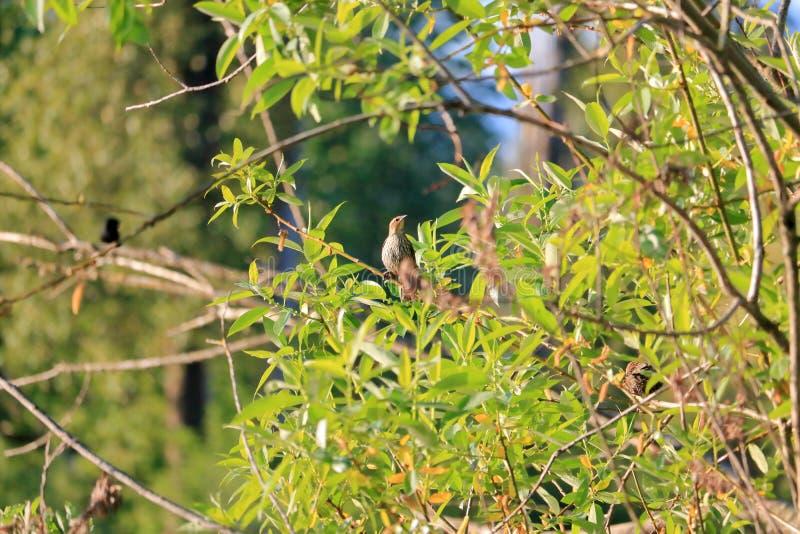 Bruine die Thrasher in Gebladerte wordt verborgen royalty-vrije stock fotografie