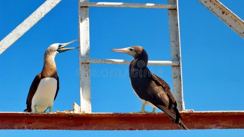 Bruine Domoor op Isla Isabel stock fotografie