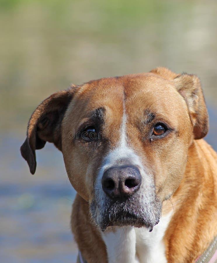 Bruine droevig kijkt halve rassenhond stock foto's