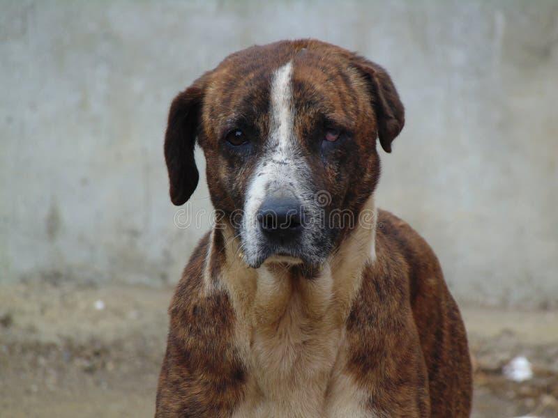 Bruine droevige hond royalty-vrije stock afbeeldingen