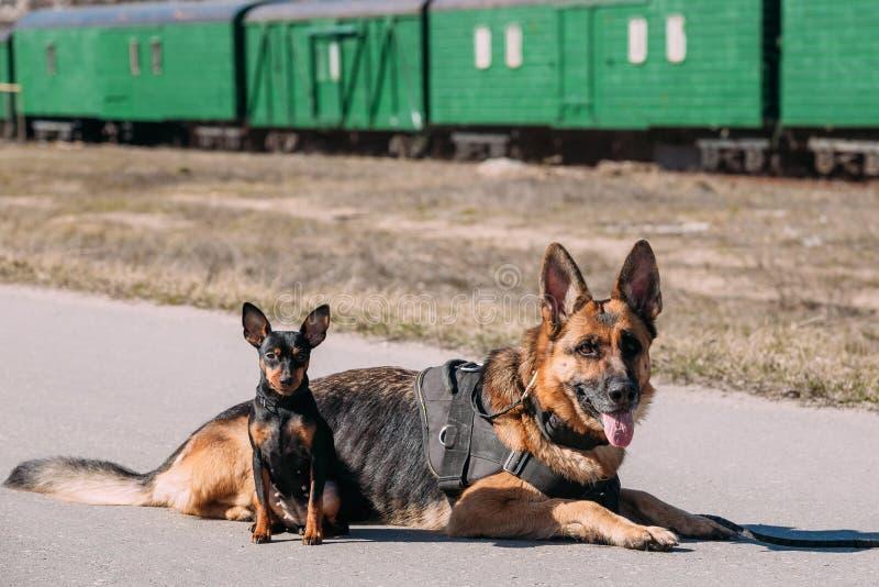 Bruine Duitse Herdershond Elzassisch Wolf Dog Sitting On Road in Zonnig royalty-vrije stock foto's