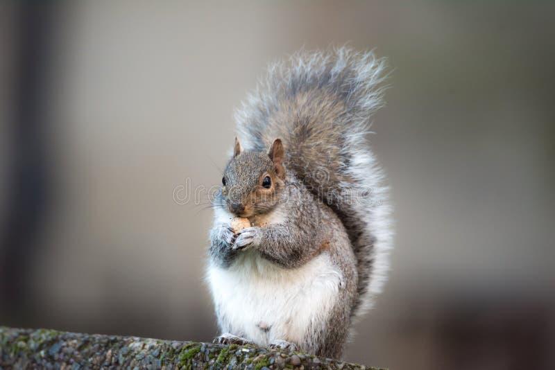Bruine eekhoorn die het gezoem stedelijke van de nootclose-up pluizige grote stad eten als achtergrond royalty-vrije stock afbeelding
