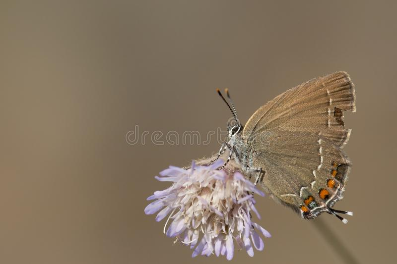 Bruine eikenpage, Ilex Hairstreak, Satyrium ilicis stock images