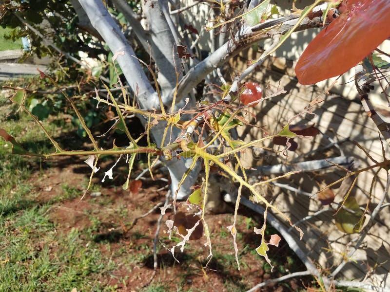 Bruine en groene gegeten die bladeren op boom in Puerto Rico door insecten wordt beschadigd stock afbeelding