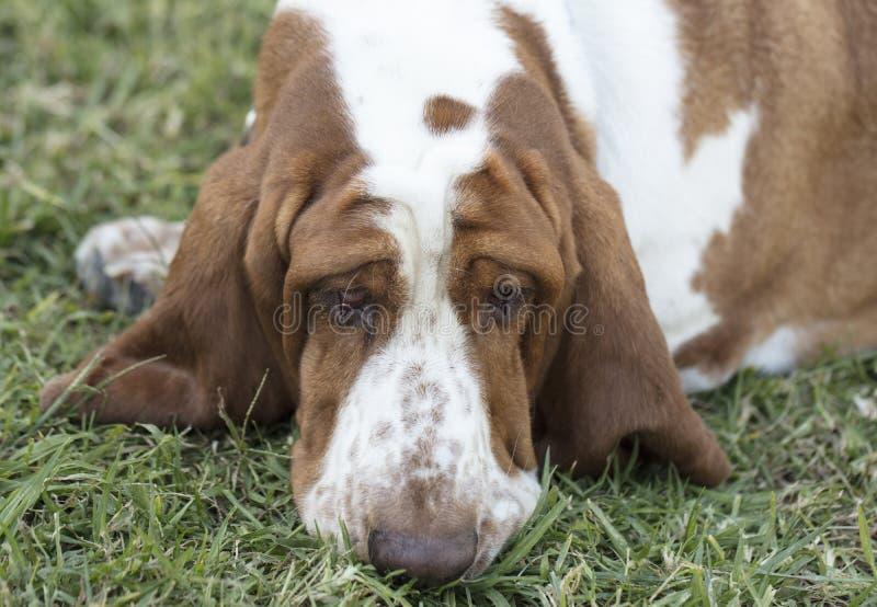 Bruine en Witte bevlekte Basset Hound-Hond stock afbeeldingen