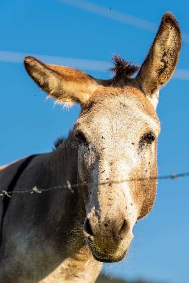 Bruine en witte ezel die camera bekijken stock afbeelding