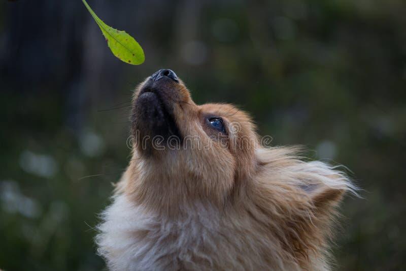 Bruine en witte hond die de camera bekijken stock fotografie