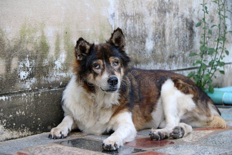 Bruine en witte kleuren Thaise verdwaalde hond die op de vloer door de muur bepalen royalty-vrije stock afbeeldingen