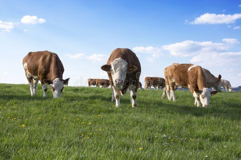 Bruine en witte koeien op weiland royalty-vrije stock foto's
