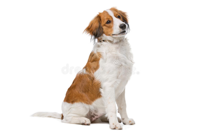 Bruine en witte Kooiker-hond royalty-vrije stock fotografie