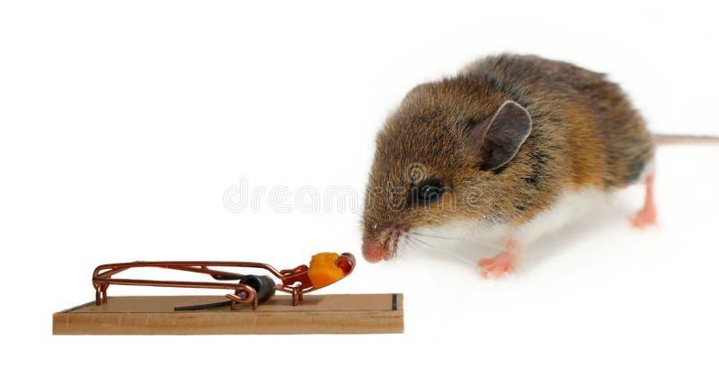 Bruine en witte muis het snuiven kaas in vastgestelde val stock foto's