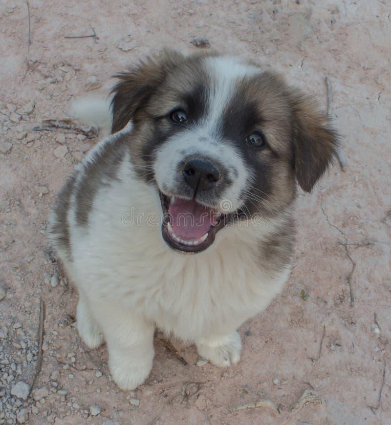 Bruine en witte puppyzitting op de straat royalty-vrije stock afbeelding
