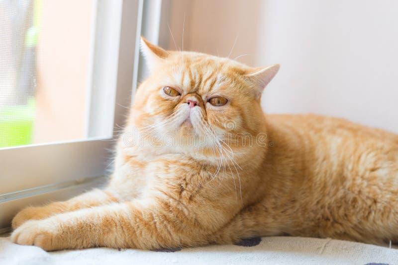 Bruine Exotische shorthairkat, die zich in de voorgrond concentreren stock foto