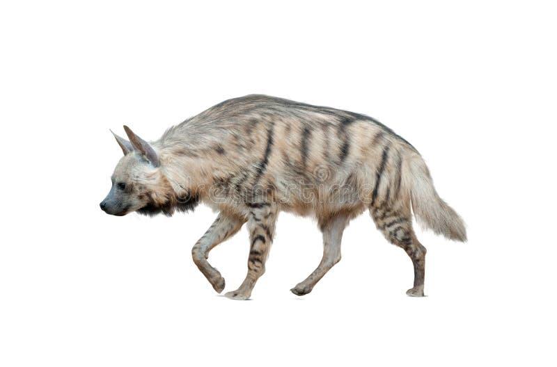Bruine geïsoleerde hyena stock foto