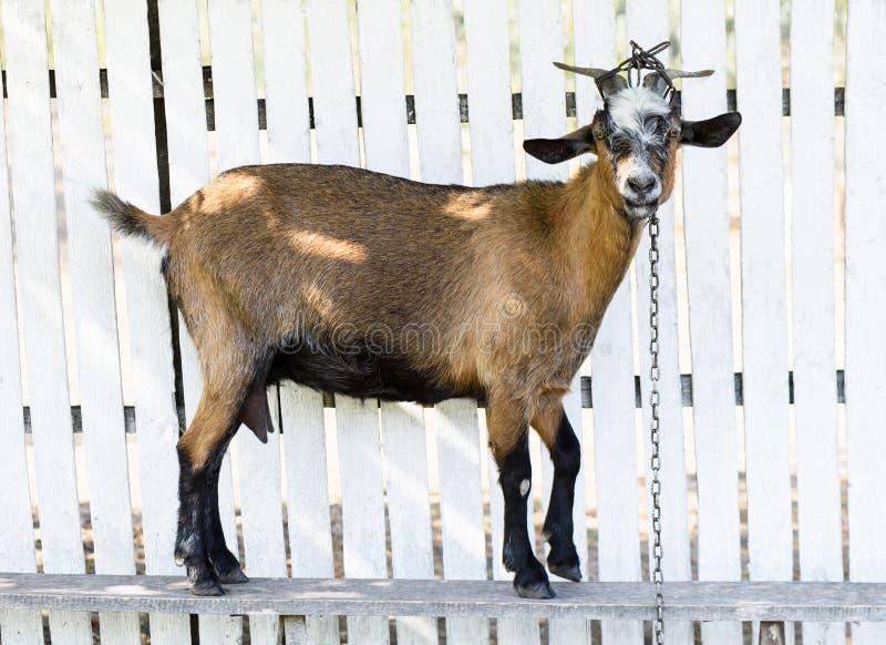 Bruine geit op een witte houten omheining, die naar camera kijken stock afbeeldingen