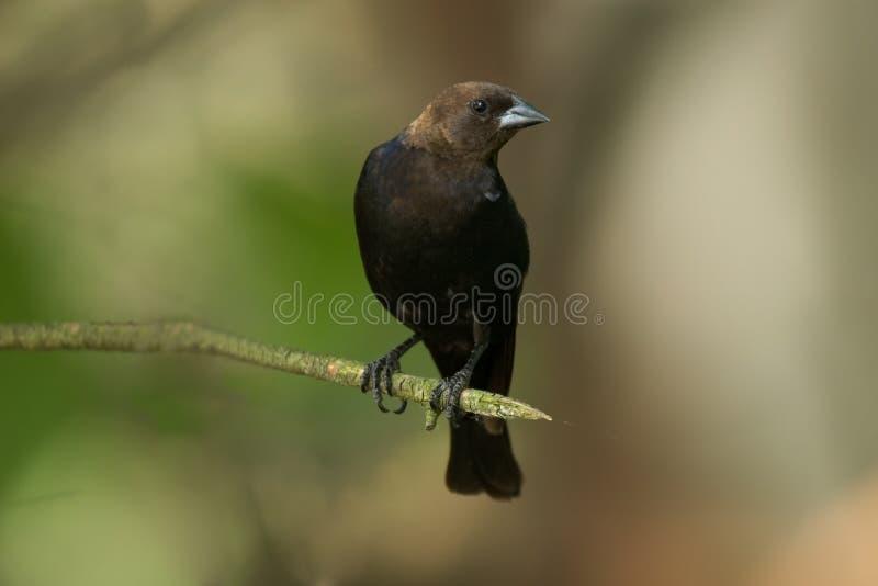 Bruine Geleide Cowbird stock afbeeldingen