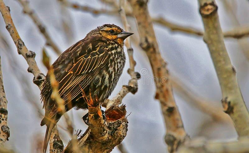 Bruine Geleide Cowbird royalty-vrije stock foto's
