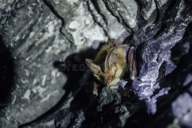 Bruine gemeenschappelijke lang-eared auritus van knuppelplecotus in krijtachtig hol stock foto's