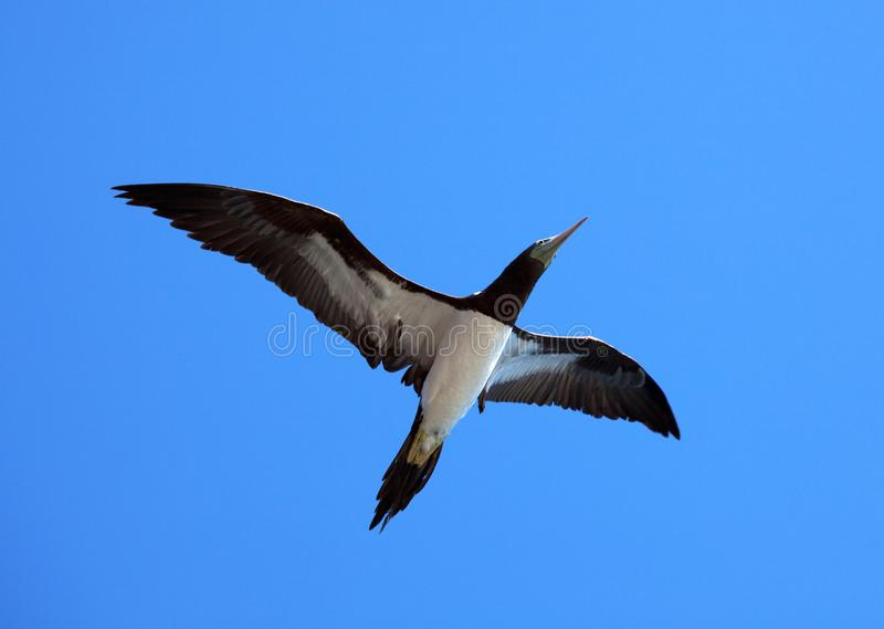 Bruine Gent, Brown Booby, Sula leucogaster stock image