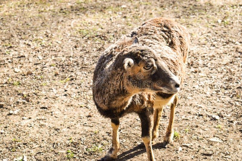 Bruine glama van de lamalama, zoogdier die in de Zuidamerikaanse Andes leven royalty-vrije stock fotografie