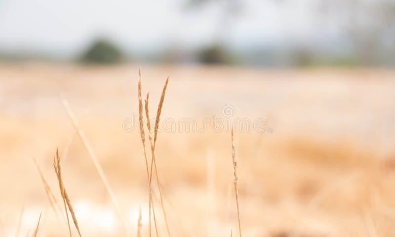 Bruine grasbloemen op de gebieden stock afbeelding
