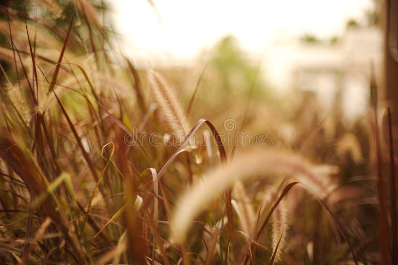 Bruine grassen met onduidelijk beeldachtergrond in het zonlicht royalty-vrije stock foto's