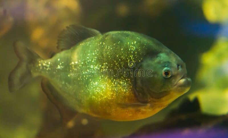 Bruine grijze en gele tropische vissen met het exotische onderwater oceaan dierlijke portret van glitteryschalen stock foto's