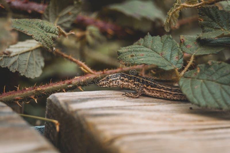 Bruine hagedis op het gebied bovenop houten stock afbeeldingen