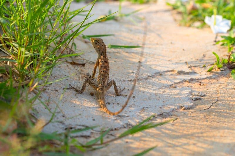 Bruine hagedis op wit zand in groen gras Exotisch dier in wilde aard Tropische wildernis bosinwoner stock afbeeldingen