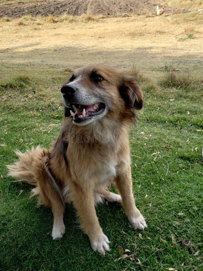 bruine haired hond in het gras stock fotografie