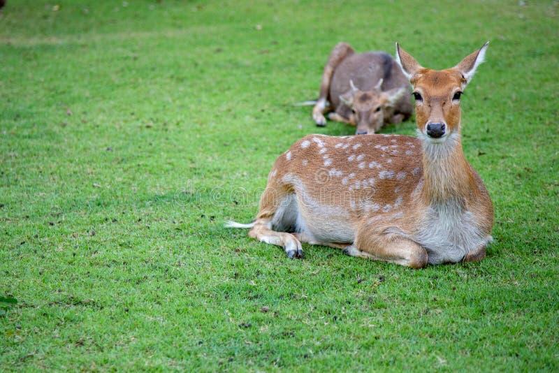 Bruine herten die op weide in de open dierentuinsafari lopen in Thailand royalty-vrije stock fotografie